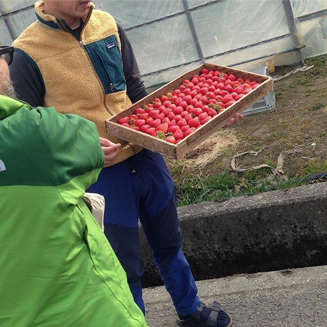 ストロベリーファーム視察させて頂きました。もちろんそのままちぎってパクっ(^^) 美味しい食べ方は先に赤のところ食べてから最後に芯の白いところ食べるんよ。と教えてもらいました。試してくださいね〜(^^) #いちご #ストロベリー#農家#那賀町 #鷲敷#移住支援 #移住体験#近田農園#あまーい