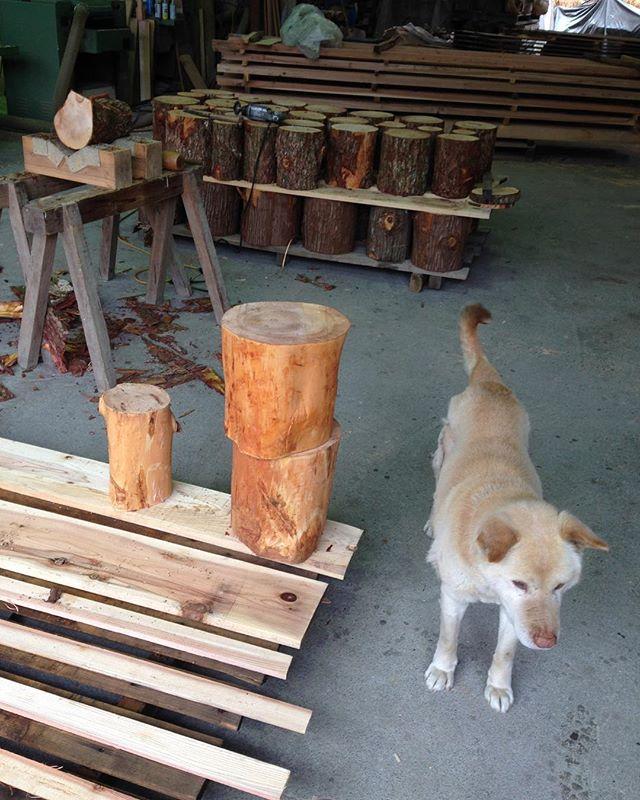 KUKUトーチ製作中です。製材で均等にカット手作業で皮剥きこの工程が着火後に大きな差が出ます。最後までキレイなファイヤーが楽しめますよ(^^) #トーチ#木こりのろうそく #bbq #スエーデントーチ #ロケットストーブ #キャンプ #丸太#きとう #スギ #とち#いぬ #わんこ #木工 #ぐーちゃん