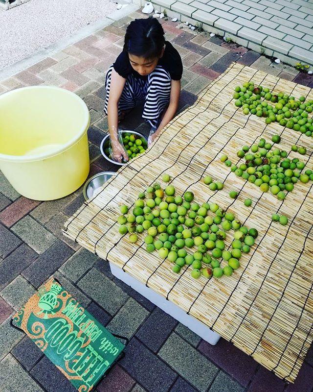 娘たちと梅干し作り青梅を沢山もらったので初の試み(^^)梅干し好きなので、ついに手を出しました〜!美味しくな〜れ。#梅干し#那賀町#上那賀#青梅#手作り#indianeagleyasu #木工