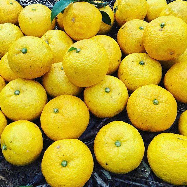 元気になるスマイル色!木頭柚子。大量に欲しい方ご連絡くださいね〜(^^) 天然無農薬。香りがもう最高!#柚子#ゆず#木頭柚子#那賀#地域おこし協力隊 #無農薬@mebina