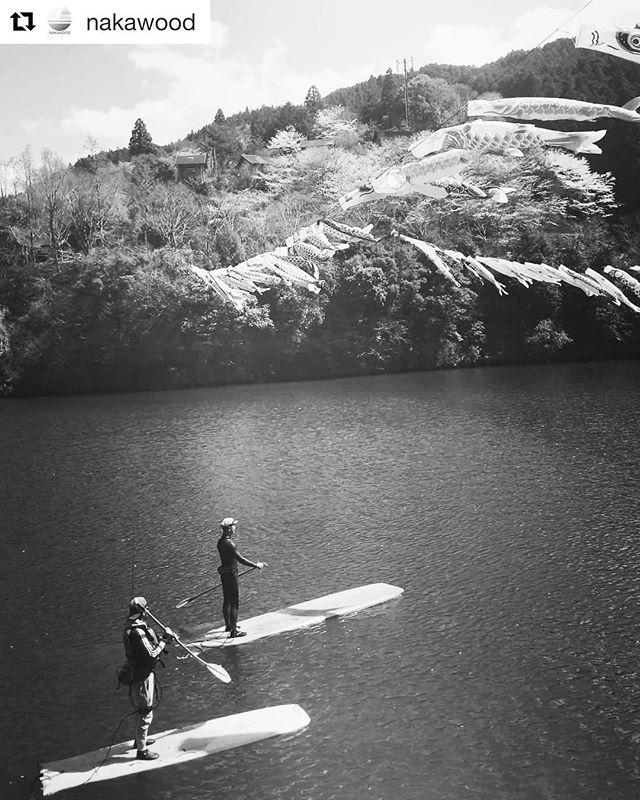 お花見SUP木頭杉で製作したサップボードで、湖上からお花見。もみじ川温泉前では一足先に鯉のぼりもお目見え。贅沢な風景を満喫できます!#ウッドボードkuku #木頭杉#さくら#こいのぼり #sup #サップ#ダム湖@nakawood