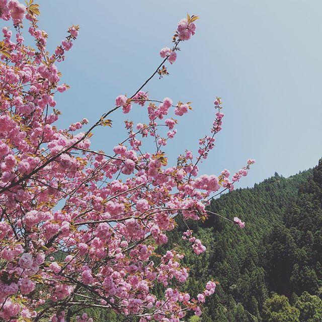 KUKU工房付近八重桜が満開!